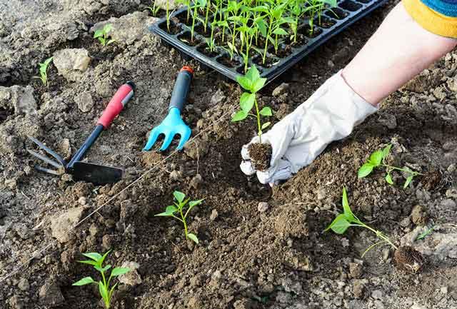 hand planting in a garden