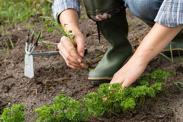 hands planting in gardens